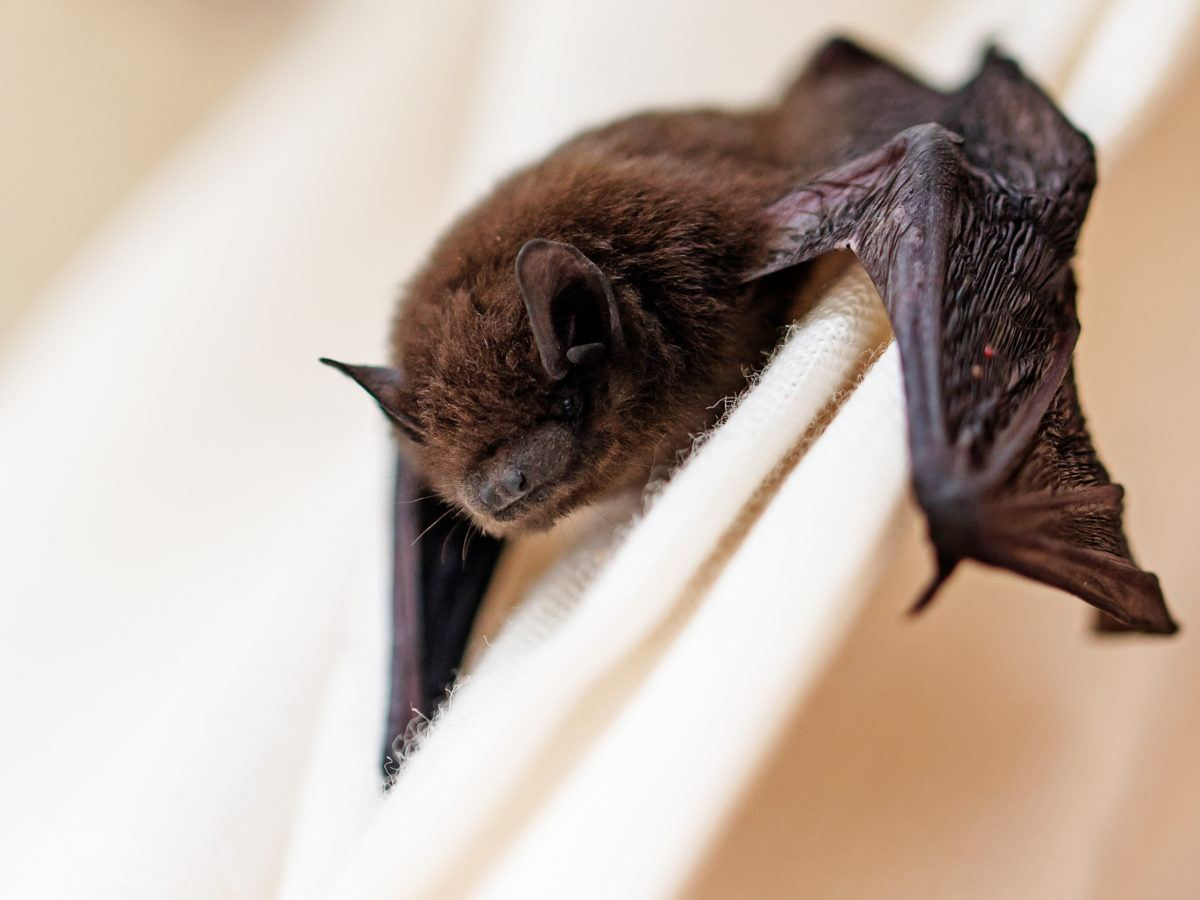 How to Get Rid of Bats How Much To Carpet A Bat on how to a bottle, how to a bowl, how to a dinosaur, how to a pig, how to a hawk, how to a bus, how to a buffalo, how to a crow, how to a grasshopper, how to a starfish, how to a jaguar, how to a fly, how to a baseball, how to a black, how to a seal, how to a golf club, how to a helmet, how to a whale, how to a hat, how to a witch,