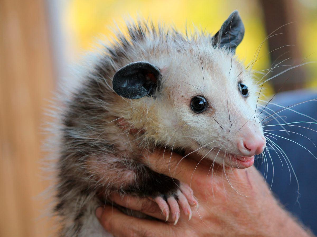 - Best Ways To Get Rid Of Opossum