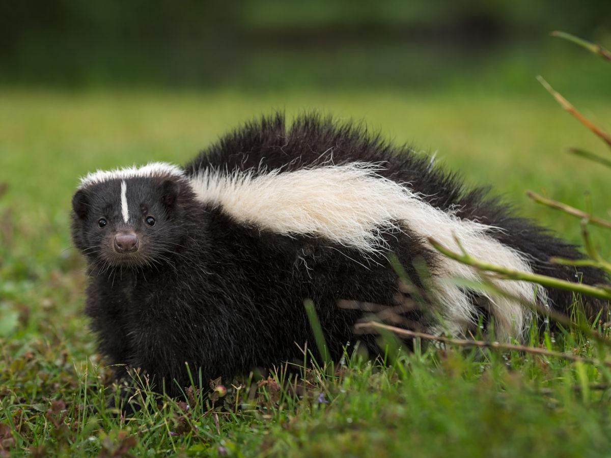 Where Do Skunks Sleep