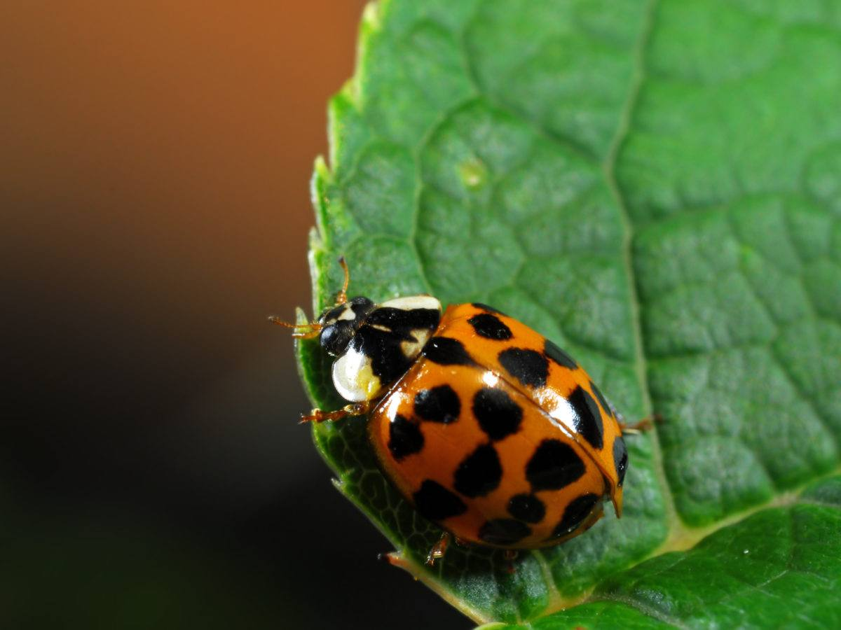 Asian ladybug eradication