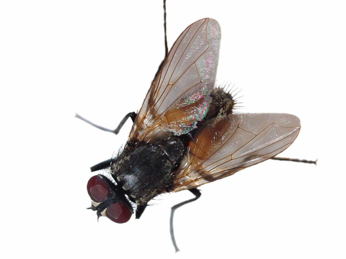 How to Get Rid of Black Flies