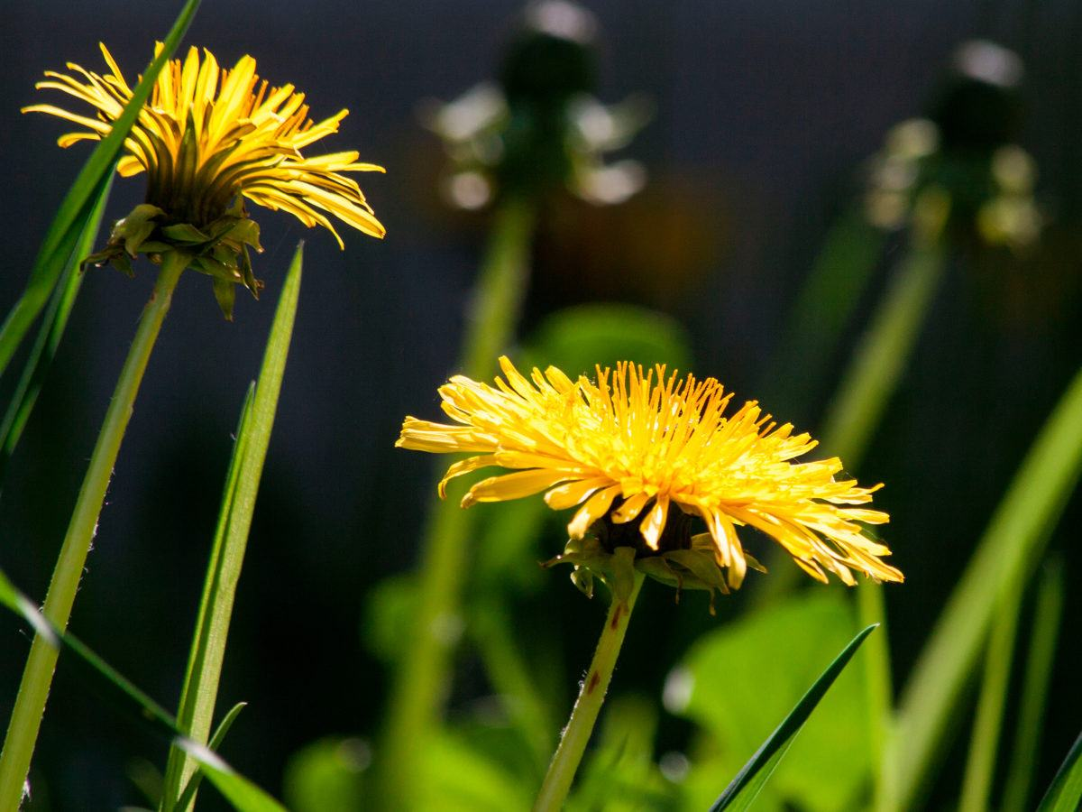 How to get rid of dandelions mightylinksfo